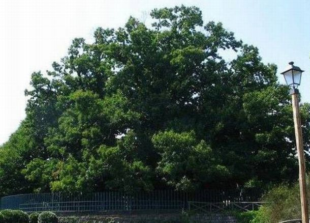 100 Horse Chestnut Tree